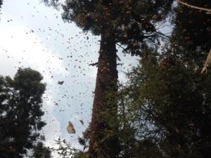 Ya no llegan como antes la Mariposa Monarca
