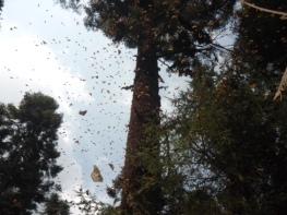 Cambian de habita miles de pariposas monarcas en  Atlautla(1)