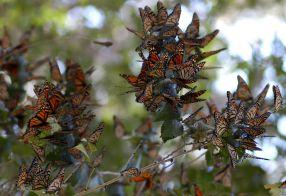 Se pierde miles de Mariposas Monarcas en Atlautla.