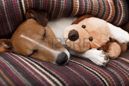 36204321-jack-russell-terrier-perro-debajo-de-la-manta-en-la-cama-tener-una-siesta-y-relajarse-con-el-mejor-a